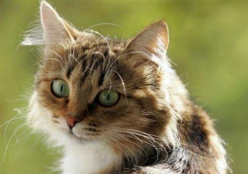 85c52aaf5dc6 Εμβόλιο για την αλλεργία στις γάτες δημιουργούν Ρώσοι επιστήμονες ...