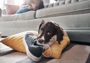 Σκύλος, εφηβεία
